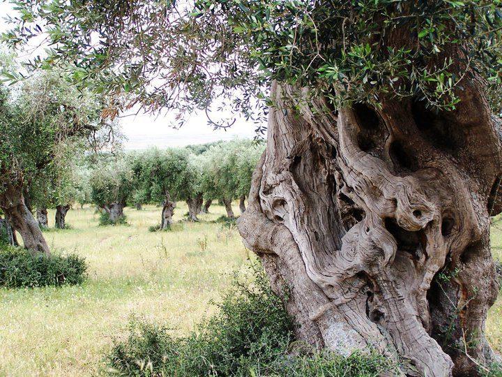 Clemente olivový háj